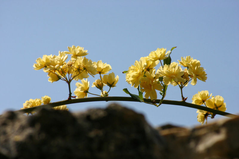 banksiae roses branch over a stonewall, liguria, italy Natural Light Rose Branch Sunlight Banksiae Banksiae Roses Banksiarose Beauty In Nature Blooming Clear Sky Day Daylight Flower Fragility Italy Low Angle View Nature Neutral Background No People Outdoors Roses Spring Spring Flowers Springtime Yellow Yellow Roses
