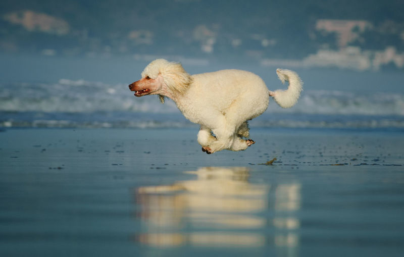White Standard Poodle running on wet sand beach Animal One Animal Animal Themes Canine Water Dog Pets Domestic Motion Day Running No People Sea Nature Poodle Standard Poodle White Running Fast Midair Reflection Beach Action