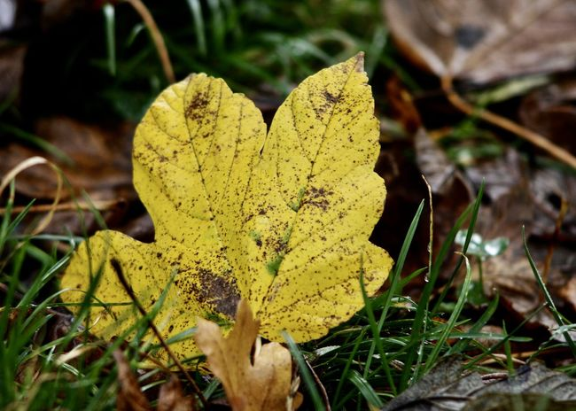 autumn leaf on wet pasture Autumn Leaves Colors Green Pasture Autumn Beauty In Nature Brown Change Close-up Fall Field Focus On Foreground Fragility Grass Growth Lasting Leaf Nature Outdoors Season  Sustainability Symbol Toadstool Wet Yellow Second Acts