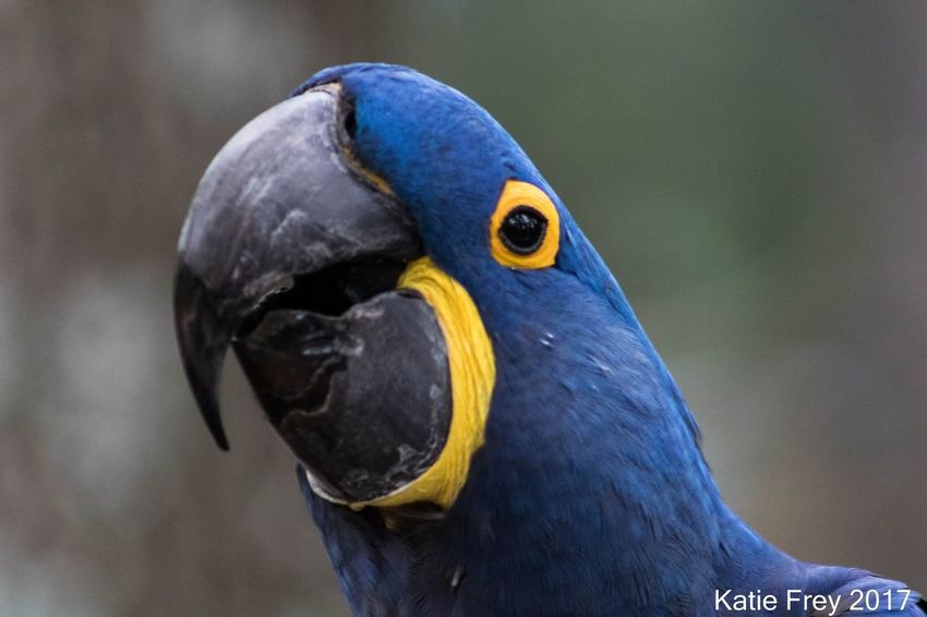 EyeEm Selects Animal Themes Beak Animal Wildlife One Animal Bird Blue Close-up No People Parrot Macaw Nature Day Multi Colored Hyacinth Macaw