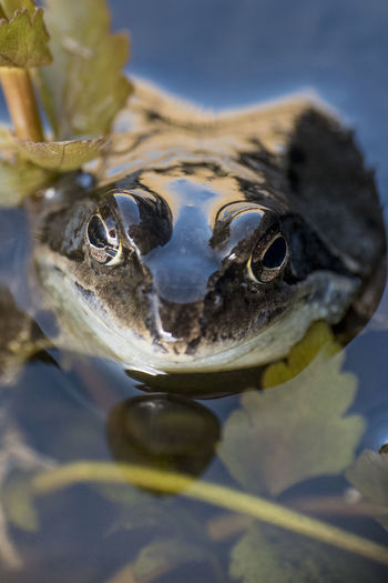 Animal Themes Animals In The Wild Close-up Frog Frosch Looking At Camera One Animal Outdoors Water