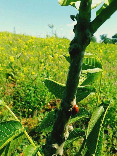 Yazdan Kalma Bi Foto Ceviz Tarlası cevizağacındaki Ugurbocegi Nature