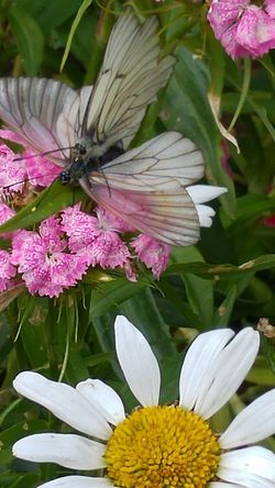 Mating Pair Of Butterfly Purple Plant Flower Head Blossom Fragility Close-up Outdoors No People Flower Nature Live For The Story