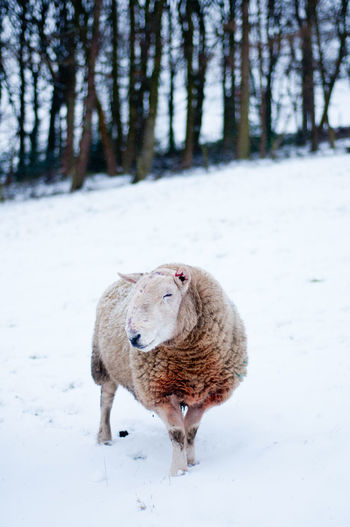 A sheep in the snow. Animal Animal Photography Animal Portrait Animal Themes Animals In The Wild Cold Temperature Day England Farm Farm Life Field Full Length Mammal Nature One Animal Sheep Snow Snow Covered Snow Day Weather Wildlife Winter Winter Yorkshire