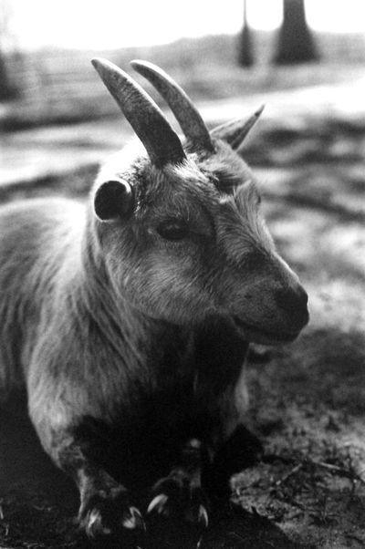 Goat Black & White 35mm Film