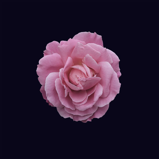 Beauty In Nature Black Background Central Composition Close-up Flower Flower Head Fragility Freshness Fully Blossomed Nature Perfect Blossom Petal Pink Color Quadrate Quadratic Rose - Flower Rosé Studio Shot