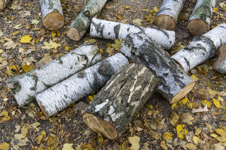Close-Up of Birch Tree Logs Berlin Color Image Germany 🇩🇪 Deutschland Horizontal Outdoors No People Day Nature High Angle View Tree Plant Part Close-up Log Wood - Material Leaf Timber Solid Wood Environmental Issues Dirt Forest Birch Birch Tree