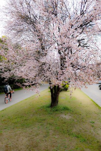 Apricot tree in Shanghai Tree Nature Growth Flower Beauty In Nature Blossom Real People Cherry Tree Plant Water Outdoors Fragility Day Scenics Branch One Person Freshness Men People Shanghai Streets Apricot Tree Shanghai China