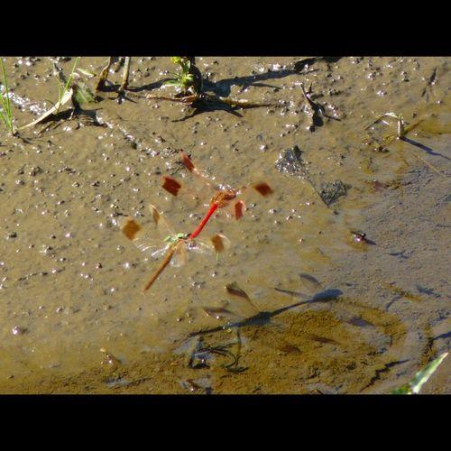 _Sympetrum pedemontanum elatum_ Dragonfly Insect Nature