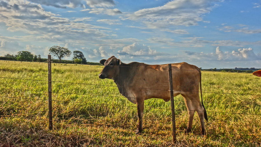 Cow standing on grassy field against sky