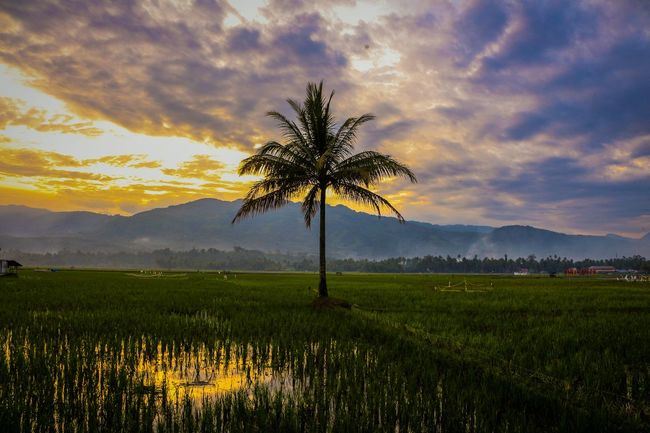A single coconut tree by the rice field... Nature Sunset Rural Scene Landscape Photography Wonderfulindonesia The Great Outdoors - 2017 EyeEm Awards