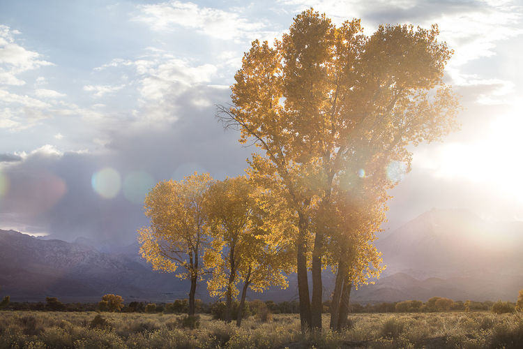 Fall colors in the Eastern Sierras. Tree Plant Beauty In Nature Sky Tranquil Scene Tranquility Scenics - Nature Sunlight Cloud - Sky Land Nature Field Landscape Autumn No People Day Growth Change Outdoors Fall Autumn Color Yellow Cottonwood