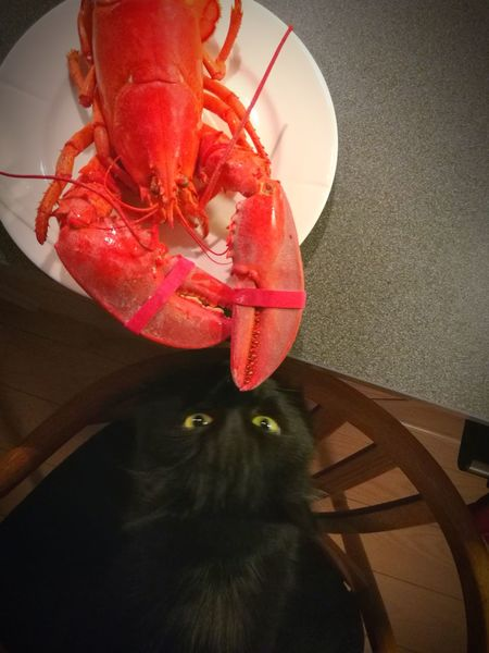 One Animal Red Crustacean Seafood No People Indoors  Food And Drink Food Animal Themes Healthy Eating Day Black Cat Lobsters Meeting New Friends