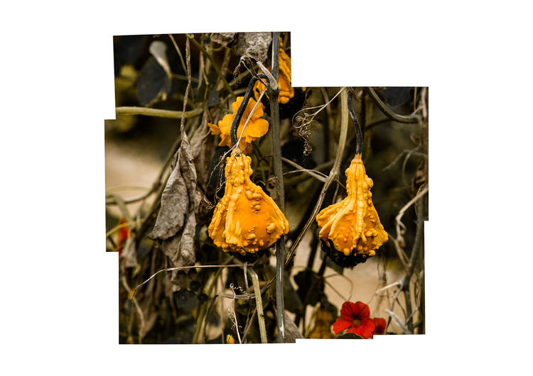 gourds Transfer Print Auto Post Production Filter No People Plant Hanging Close-up Nature Growth Indoors  Freshness Food Food And Drink Yellow Flower Studio Shot Day Decoration Healthy Eating Flowering Plant Flower Head