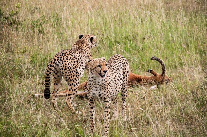 Animal Themes Animal Wildlife Animals In The Wild Cheetah Day Grass Leopard Mammal Nature No People Outdoors Safari Animals