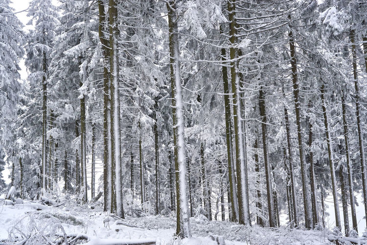 Beauty In Nature Cold Temperature Day Forest Landscape Nature No People Outdoors Pine Tree Scenics Snow Spruce Tree Tranquil Scene Tranquility Tree Weather Winter