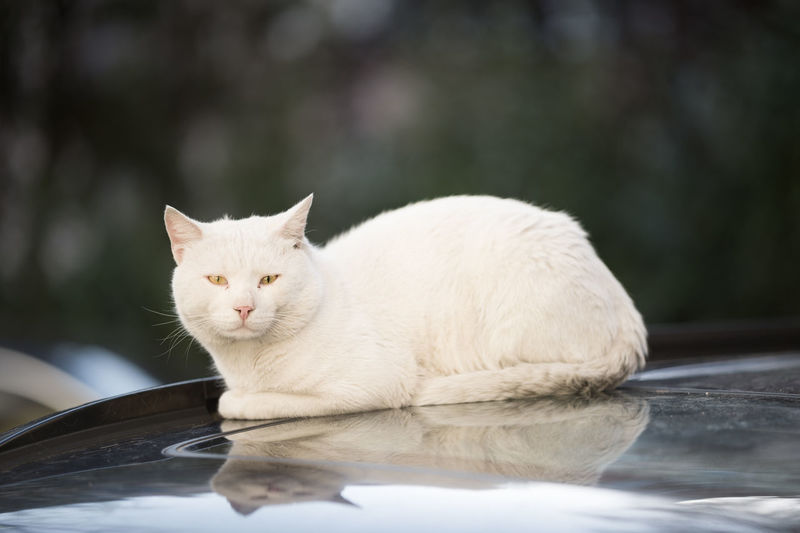 Portrait of cat sitting on car hood