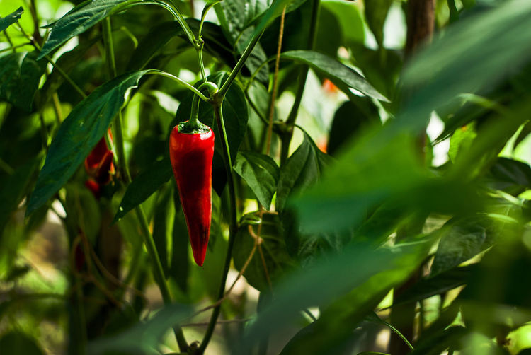Agriculture Beauty In Nature Close-up Day Eating Edible  Food Garden Green Color Greenhouse Greenhouse Plants Growth Leaf Nature No People Outdoors Pepper Plant Plant Red Red Pepper Spicy Spicy Food Tree