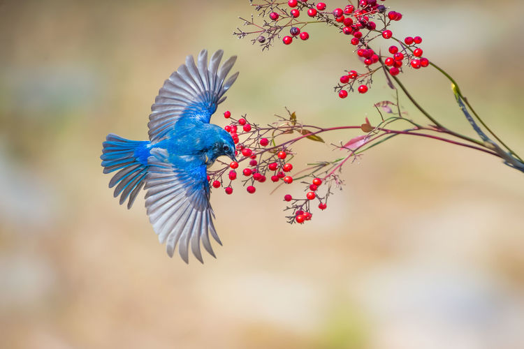 新年好! Bird Peacock Spread Wings Peacock Feather Flying Branch Fanned Out Multi Colored Tree Blue