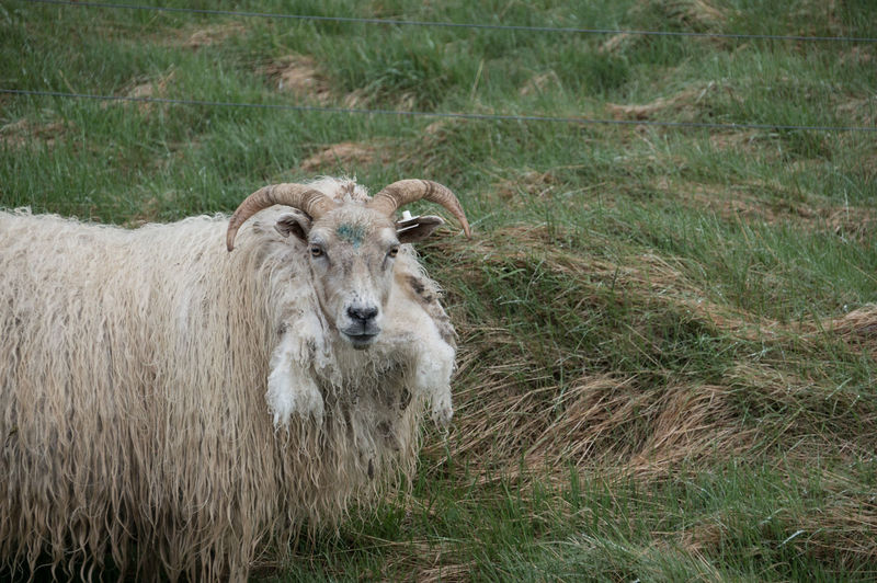 Iceland Iceland Memories Animal Themes Day Domestic Animals Field Grass Green Color Iceland Trip Iceland_collection Livestock Mammal Nature No People Outdoors Sheep
