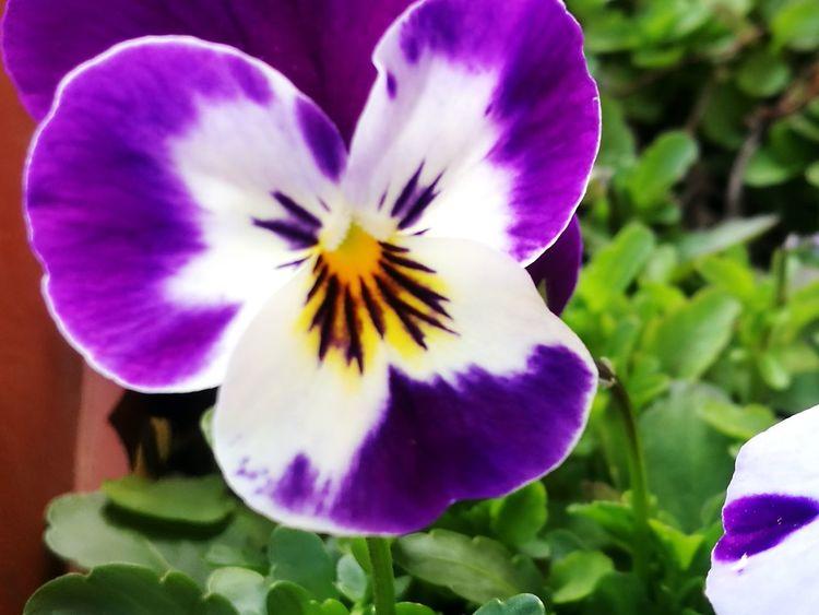 Springtime Spring Spring Flowers Flower Head Flower Iris - Plant Petal Purple Blossom Close-up Plant Passion Flower Pistil