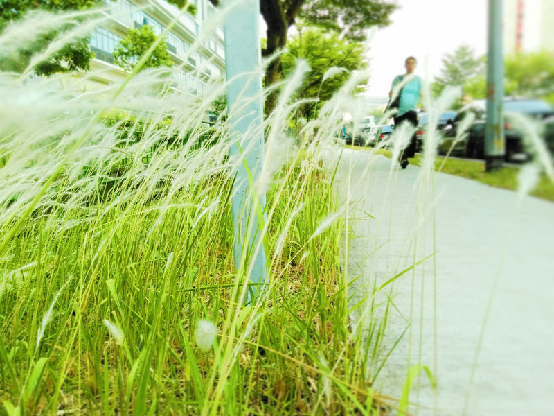 Lalang Beauty In Nature Cogon Grass Day Dramatic Angles Focus On Foreground Grass Green Green Color Growing Growth Lalang Nature Outdoors Person Plant Road Surface Level Tranquil Scene Tranquility Transportation Maximum Closeness