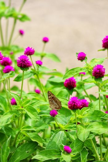 Flower Head Flower Leaf Pink Color Multi Colored Butterfly - Insect Insect Purple Close-up Plant