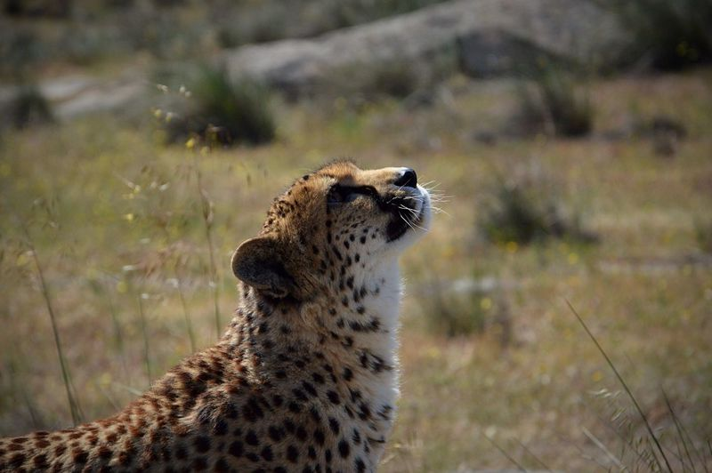 Animal Animal Themes Nature Leopard Cheetah Picture