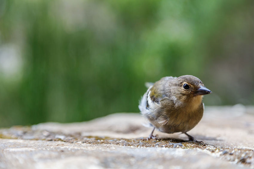 Animal Themes Animal Wildlife Animals In The Wild Bird Chaffinch Close-up Day Focus On Foreground Mourning Dove Nature No People One Animal Outdoors Perching Robin Selective Focus Sparrow