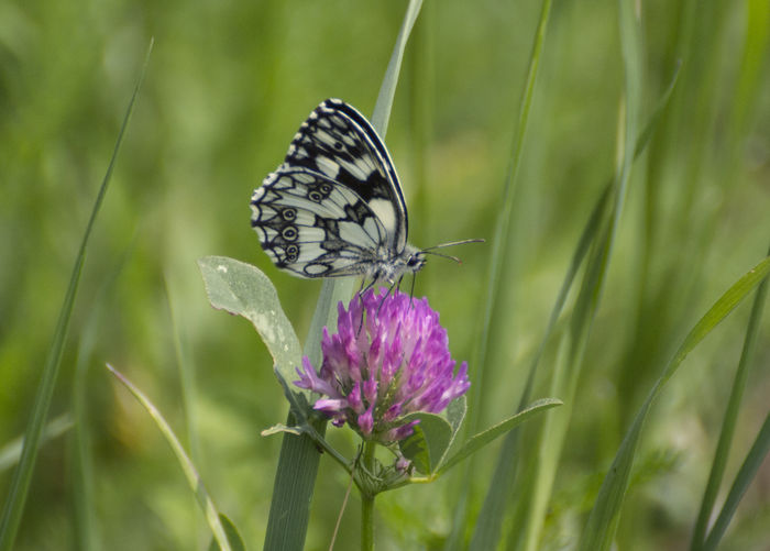 marbled white butterfly Melanargia Galathea Animal Themes Animal Wildlife Animals In The Wild Beauty In Nature Butterfly - Insect Close-up Day Flower Fragility Freshness Growth Insect Marbled White Nature No People One Animal Outdoors Plant Pollination