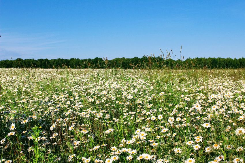 Agriculture Beauty In Nature Camomile Camomiles Chamomile Chamomile Field Clear Sky Crop  Day Field Flower Fragility Freshness Growth Landscape Nature No People Outdoors Plant Rural Scene Scenics Sky Tranquil Scene Tranquility Tree