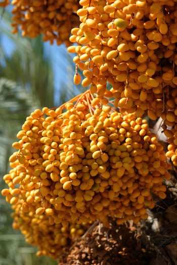 Close-up of yellow dates growing on tree