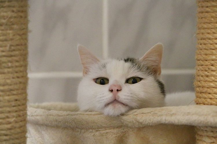 beautiful white cat is lying on a scratching post One Animal Mammal Pets Cat Feline Close-up White Color Whisker Looking At Camera Portrait Animal Eye Scratched Scratching Post Animal Themes White Headshot HEAD Lying Down Tabby Indoors  Funny Looking At Camera