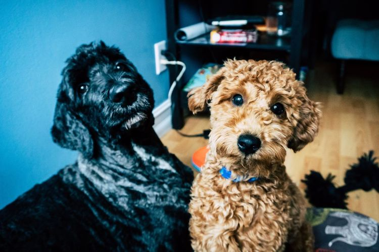 Kiwi and Toby the goldendoodles Animal Pet Goldendoodle Canine Dog Mammal Domestic Animals Pets Domestic One Animal Poodle Indoors  Looking At Camera Portrait