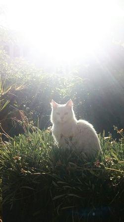 Cat White Cat Pet Angora Angoracat