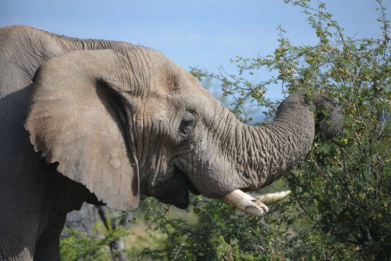South African Photography African Elephant Broken Tusk Elephant Elephant Eating Game Reserve Madikwe Tusk