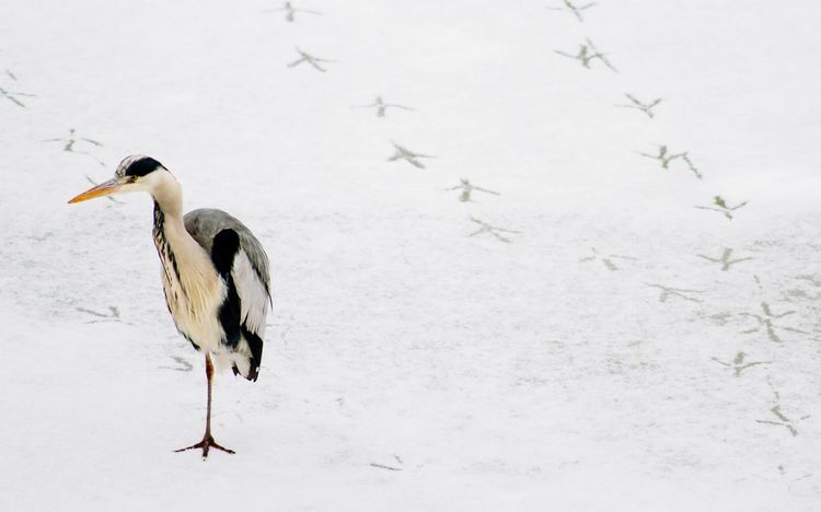 Bird Animals In The Wild Animal Wildlife One Animal Nature Animal Themes Stork River Winter Day Outdoors No People Cold Temperature Full Length Close-up Snow Ice Heron Tracks