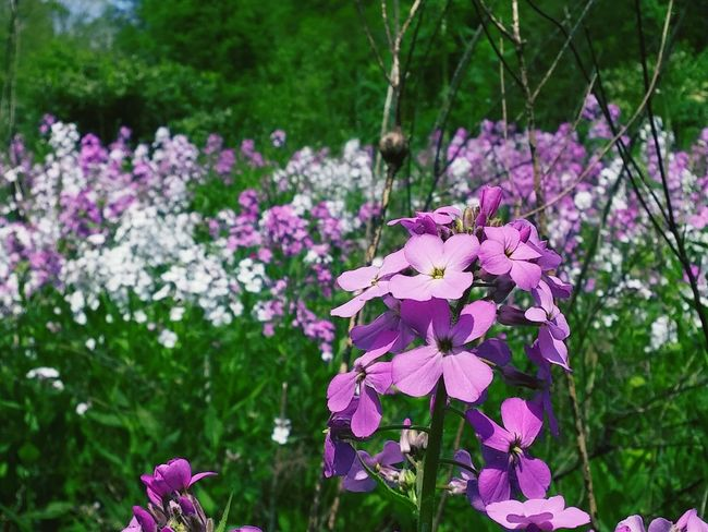 Nature Fresh On Eyeem  The Great Outdoors With Adobe Woodland Flowers Wildflowers Wild Flowers Wild Phlox Prairie Field Ohio Tall Grass Overgrown Flora Flowers Close Up Close-up The Great Outdoors - 2016 EyeEm Awards Focus Object