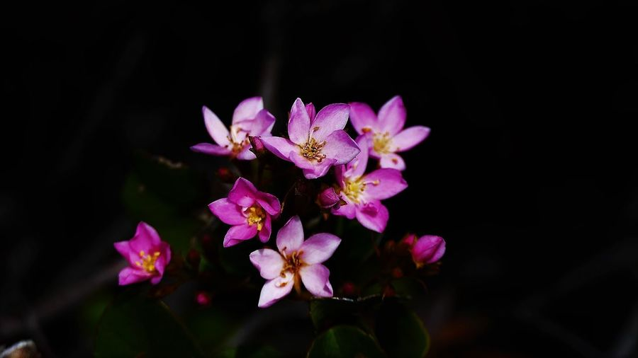 Close-up of pink flowers blooming at night