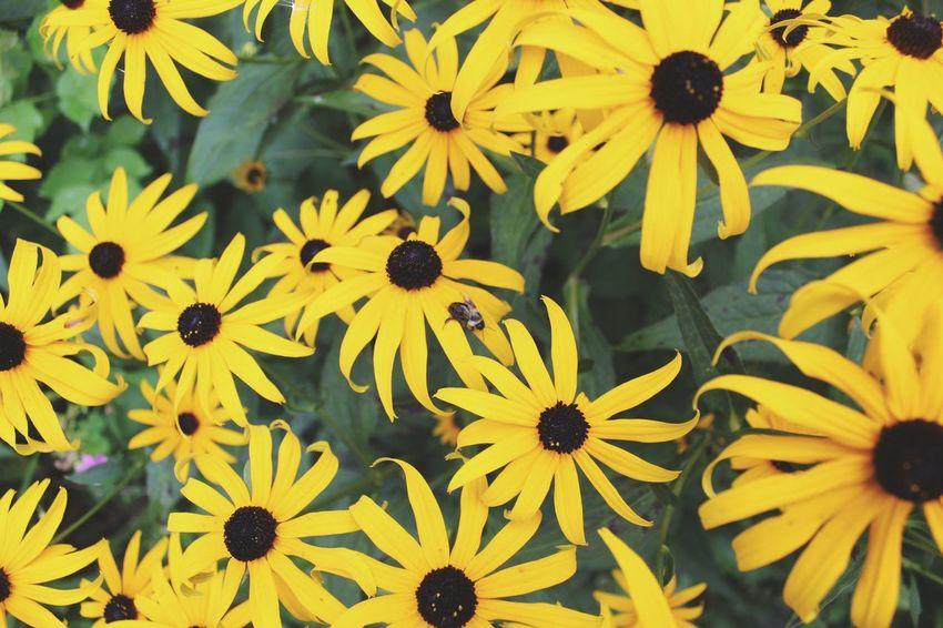 Passion Full Frame Garden Black Eyed Susans EyeEm Nature Lover Stockphoto Flower Head Black-eyed Susan Flower Yellow Outdoor Pursuit Petal Leaf Close-up Plant Pollen Plant Life EyeEmNewHere