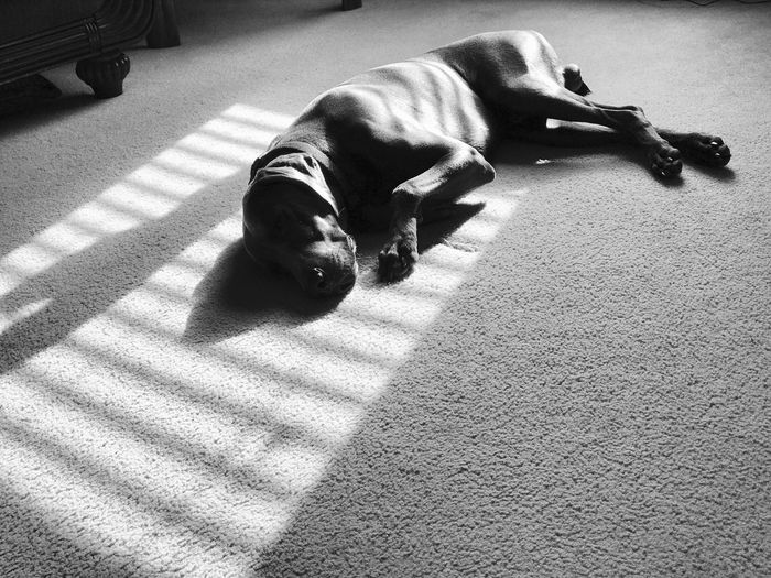 Pet Window Light Natural Light Resting Nap Sleeping Weimaraner Pets Dog Domestic Animals Sunlight Shadow Mammal Real People Full Length One Animal Day Indoors