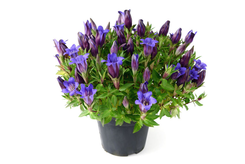 flowerpot of blue gentian on white isolated background Blooming Blossom Blue Botany Close-up Flower Flower Head Green Color Growth In Bloom Nature Outdoors Petal Plant Purple Stem Studio Shot White Background Gentian Plant Gentian Blue Gentian Flower Gentian