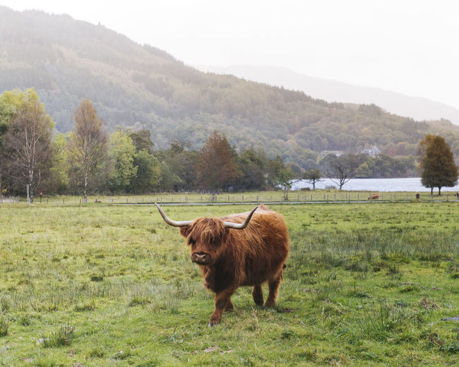 Hairy Coo in the Highlands of Scotland Highland Cattle Horns Scotland Trees Animal Animal Themes Beauty In Nature Cattle Coo Cow Day Farm Animal Field Grass Grazing Growth Highlands Landscape Mammal Mountains Nature One Animal Outdoors Sky