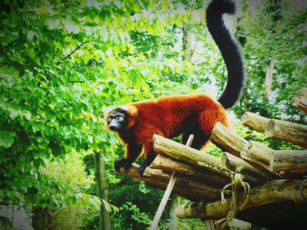 Red Vari Animal Wildlife Animals In The Wild Nature Animal Themes Outdoors Endangered Species Animal Lemur EyeEmNewHere Loveyourlife Tree Nature