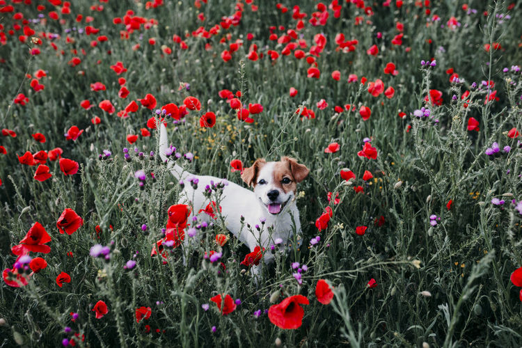 High angle portrait of dog standing amidst flowers in park