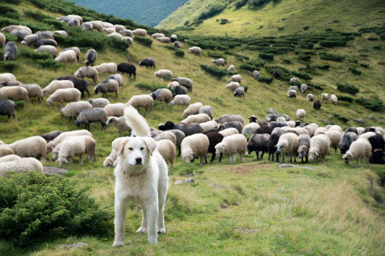A shepherd dog in a tenderness moment with the sheep he guards. concept Mammal Domestic Animals Animal Themes Domestic Animal Livestock Grass Group Of Animals Sheep Pets Agriculture Large Group Of Animals Flock Of Sheep Plant Dog Canine Environment Landscape Nature Plain Herd No People Outdoors Border Collie Herbivorous