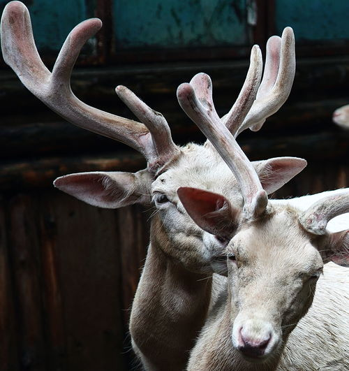 Whistle Animal Themes Antler Close-up Day Domestic Animals Looking At Camera Mammal No People One Animal Outdoors Portrait