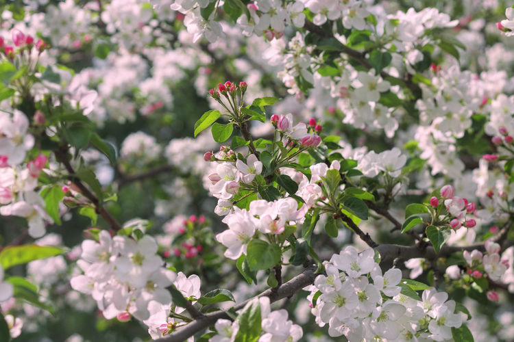 Gently pink apple blossom. Bright flower background Bright Buds Colored Gently Horizontal Nature Pink Apple Blossom Background Beauty Blossoming  Brunch Closeup Floral Flower Head Fruity Garden Macro No People Outdoor Season  Spring Summer Tender White