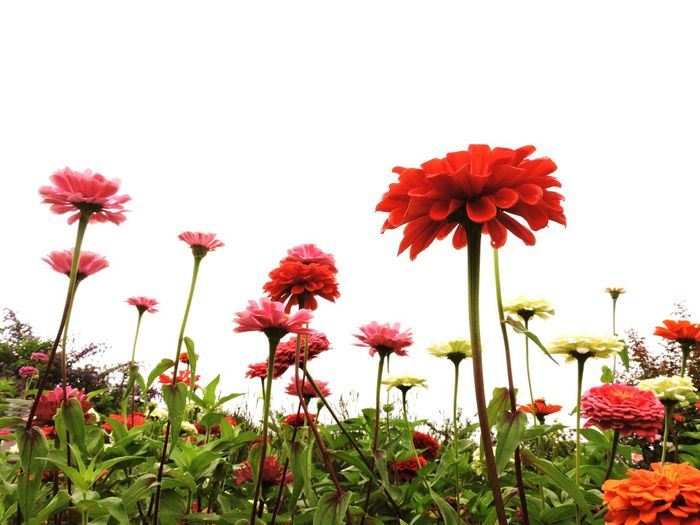 Low angle view of red flowering plants against clear sky