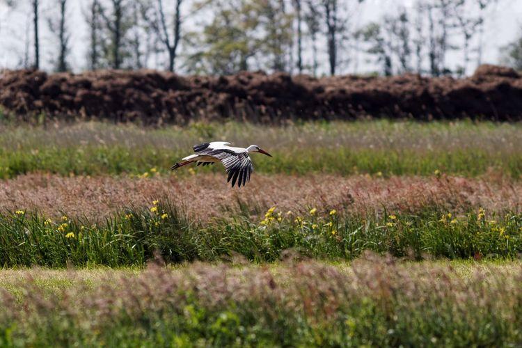 White stork flying on grassy field against sky